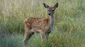 Baby Deer Stadning in Long Grass 2. Baby deer standing in long grass on a summers day royalty free stock photos
