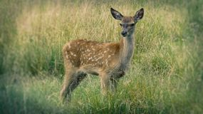 Baby Deer Standing in Long Grass. On a summers day stock photo