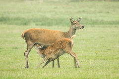 Baby deer suckling on mother Royalty Free Stock Photography