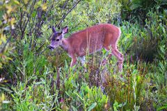 Baby Deer Walking through the Grass. Near Northern California beach royalty free stock photo