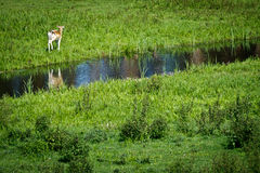 Baby deer walking near river Stock Photography