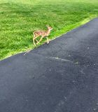Baby Deer Walking Royalty Free Stock Photography