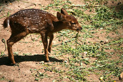 Baby deer in zoo Royalty Free Stock Image