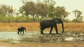 Baby des afrikanischen Elefanten, das seiner Mutter folgt stock footage