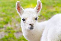 Baby des Lamas (Lama glama) Lizenzfreie Stockbilder