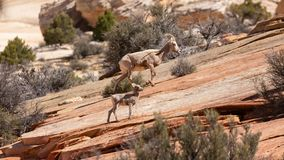 A baby desert big horned sheep and it`s mother make their way up a red slickrock slope in the desert of Southern Utah stock photos
