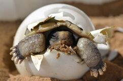 Baby Desert Tortoise Stock Photos