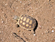 Baby Desert Tortoise Cruising Royalty Free Stock Photo