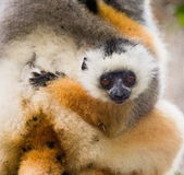 A baby of diademed sifaka. Madagascar. Mantadia National Park. Stock Photos