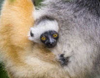 A baby of diademed sifaka. Madagascar. Mantadia National Park. Royalty Free Stock Images