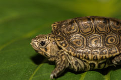 Baby Diamondback Terrapin Stock Photography