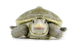 Baby Diamondback Terrapin on White Background royalty free stock photography