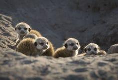 Baby die meerkats gevaar zoeken stock foto's