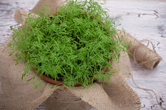Baby dill sprouts in pot, mini garden at home. High angle view Royalty Free Stock Images