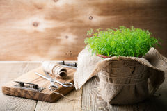 Baby dill sprouts in pot, mini garden at home. On rustic wooden table Royalty Free Stock Photos