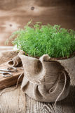 Baby dill sprouts in pot, mini garden at home Royalty Free Stock Photos