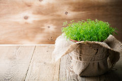 Baby dill sprouts in pot, mini garden at home. Rustic wooden table with copyspace Stock Photos