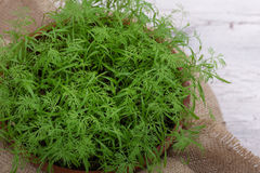 Baby dill sprouts in pot, mini garden at home. Top view Stock Image