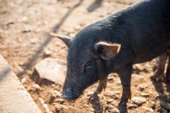 The baby dirty black pig Stock Images