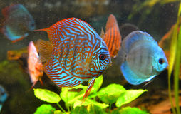 Baby discus fish Royalty Free Stock Images