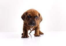 Baby dog Royalty Free Stock Images