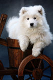 Baby dog. This is a baby samoyed Royalty Free Stock Images