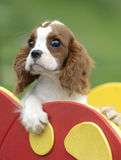 Baby dog. Beautiful King Charles Cavalier Spaniel at the playground Royalty Free Stock Photo