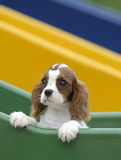 Baby dog. Adorable King Charles Cavalier Spaniel at the playground Royalty Free Stock Photos