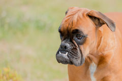Baby dog boxer young puppy on green grass Royalty Free Stock Image