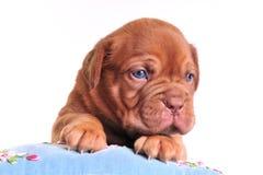 Baby-Dog Climbing a pillow Royalty Free Stock Photos