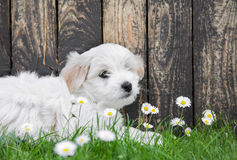 Baby dog: Coton de Tulear puppy for animal concepts. Stock Photo