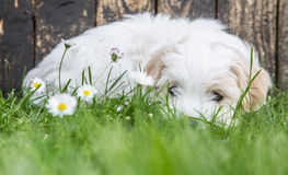 Baby dog: Coton de Tulear - puppy lying relaxed in the green. Portrait: Puppy of an original Coton de Tuléar dog sleeping in the green. Concept for a funny Royalty Free Stock Photography