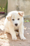 Baby dog white. And cute Royalty Free Stock Photo