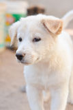Baby dog white and cute. Baby dog white and cute on blur background Stock Photography