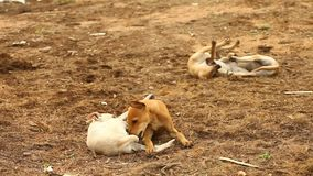 Baby Dogs plays at rural area stock footage