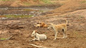 Baby Dogs plays at rural area stock video
