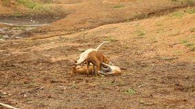 Baby Dogs plays at rural area stock video footage