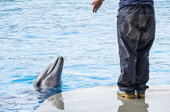Baby Dolphin with Coach Trainer. Detail of the moment where the trainer feeds the dolphin Stock Photo