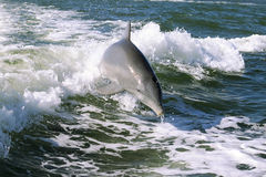 Baby Dolphin Royalty Free Stock Images