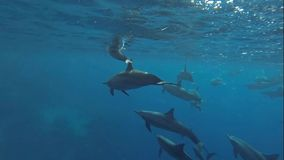 Baby dolphins stock footage
