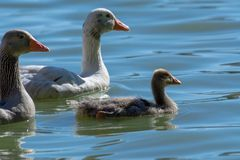 Baby Domestic African  Goose Stock Photography