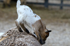 Baby domestic goat Royalty Free Stock Images