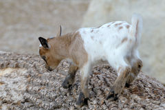 Baby domestic goat Stock Photo