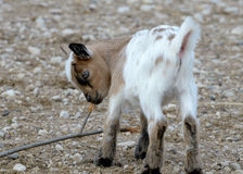 Baby domestic goat Stock Photos