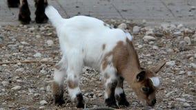 Baby domestic goat (Capra aegagrus) Stock Image
