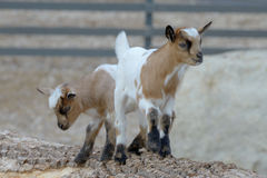 Baby domestic goats Stock Images