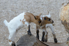 Baby domestic goats Royalty Free Stock Image
