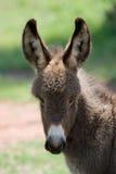 Baby donkey. Two weeks old baby donkey, portrait royalty free stock photography
