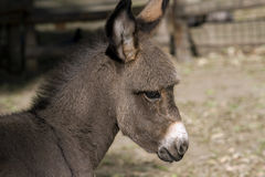 Baby Donkey Stock Photography