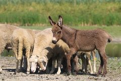 Free Baby Donkey And A Flock Of Sheep In The Pasture Stock Photography - 159349882